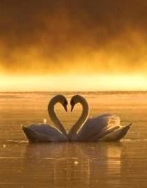 два лебедя вместе